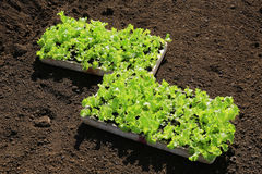 Young lettuces on farm Stock Photos