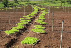 Young lettuces on farm Royalty Free Stock Photography