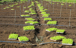 Young lettuces on farm Stock Images