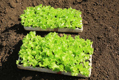Young lettuces on farm Stock Photography