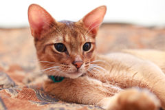Young Light Brown Abyssinian Cat kitten. Lying on bed. looking forward. Pink ears brown eyes Stock Photos