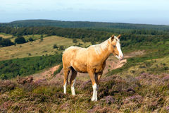 Young light brown wild pony white face Royalty Free Stock Photography