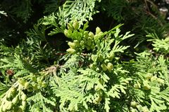 Young green seed cones of Thuja occidentalis. Young light green seed cones of Thuja occidentalis Stock Image