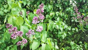 Young lilac. Lilac buds sway in the wind.4K. Young lilac. Lilac buds sway in the wind. Spring. 4K stock video footage