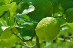 Young lime on the tree stock image