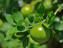 Young Lime on Tree Stock Image