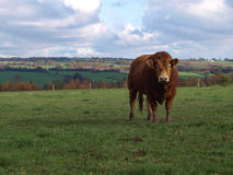A Young Limousin Beef Bull royalty free stock image