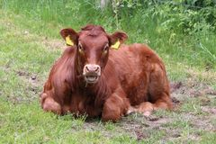Young limousin cow with beatiful brown skin. This photo is taken in the Netherlands of a limousin cow royalty free stock image