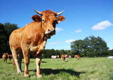Young Limousin Cow Heifer. A young Limousin cow stand sideways against blue sky looking at the camera in a pasture with a mixed herd of beef and dairy cattle Stock Photo