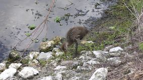 Young limpkin in Florida wetlands stock video