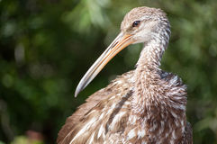Young Limpkin portrait Royalty Free Stock Photo