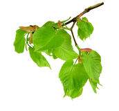 Young linden blossoms and leaves, isolated without shadow. Stock Image