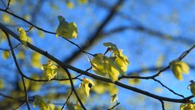 Young linden leaves swaying on branches against blue sky. Young linden leaves swaying at the wind on branches against blue sky, spring natural background stock video footage