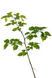 Young linden tree Stock Image