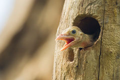 Young Lineated Barbet Royalty Free Stock Image