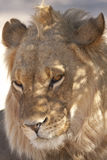 Young lion. A young male lion lazes in the morning sun in a Southern African desert Stock Images