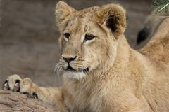 Young Lion Royalty Free Stock Photo