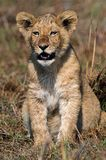 Young lion. Young lion on a shining sun. Zambia. Africa Royalty Free Stock Photo