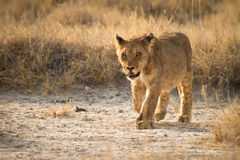 Free Young Lion Royalty Free Stock Image - 17928396