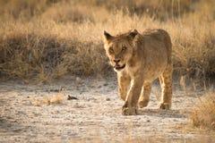 Young lion. Wild young lion, Etosha, Namibia Royalty Free Stock Image