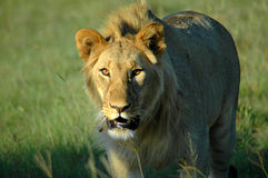 Young lion Royalty Free Stock Photos