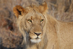 Young lion. Portrait of young lion. Zimbabwe royalty free stock photo