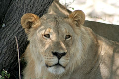 Young Lion Royalty Free Stock Photography