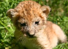 Young lion 2 Royalty Free Stock Photos