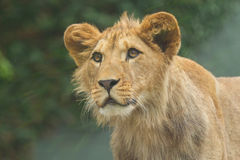 Young Lion. Portrait of a young lion on a green background Stock Photo
