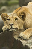 Young lion. Lying on a tree trunk Stock Photos
