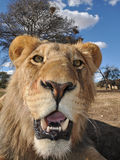 Young lion. Staring at the camera Stock Image