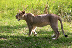 Young Lion Stock Photography