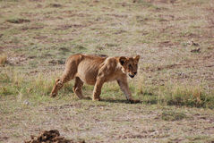 Young lion. A young lion (Panthera leo) in the savanna Stock Image