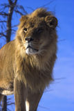 Young Lion. With blue sky Royalty Free Stock Photo