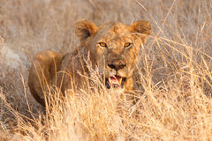 Free Young Lion Royalty Free Stock Image - 55472896