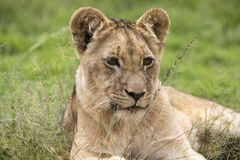 Young lion in Africa savannah. Stock Image