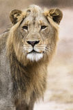 Young lion. Without any stress Royalty Free Stock Photography