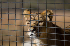 Young lion behind a fence Stock Images