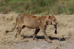 Young lion carrying a buffalo tail. Young lion walking and carrying a buffalo tail in his mouth Royalty Free Stock Images