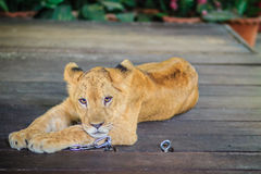 Young lion chained is lining on the wooden floor and look so bor Royalty Free Stock Images