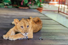 Young lion chained is lining on the wooden floor and look so bor Royalty Free Stock Photos