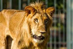 Young lion in chiangmai nightsafari chiangmai Thailand Royalty Free Stock Photography