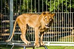 Young lion in chiangmai nightsafari chiangmai Thailand Royalty Free Stock Image