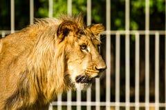 Young lion in chiangmai nightsafari chiangmai Thailand Royalty Free Stock Photos