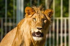Young lion in chiangmai nightsafari chiangmai Thailand Royalty Free Stock Images