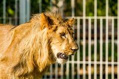 Young lion in chiangmai nightsafari chiangmai Thailand Stock Images