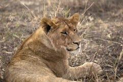 Young lion closeup Stock Images