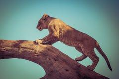 Young lion cub climbing on a tree. Stock Photos