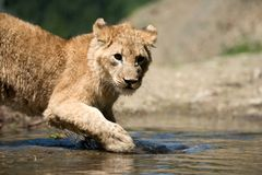 Young lion cub drink water Stock Photo