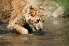 Young lion cub drink water Royalty Free Stock Image